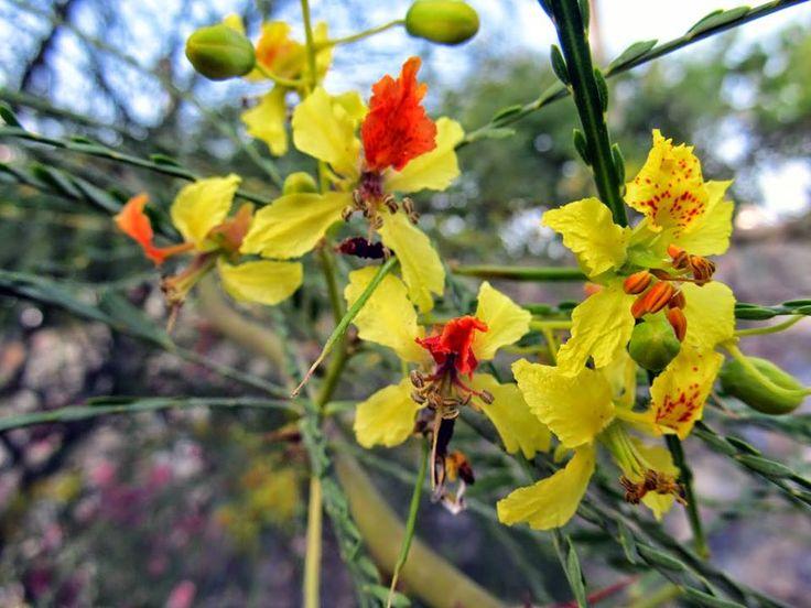 İbrişim ağacı yaprağı ile beraber yazın çiçek açar ve kışa kadar da devam eder.Salkım şeklinde sarı, turuncu renkli çiçekleri erseliktir, meyveleri ise bakla şeklin de ve bol tohumludur. Parkinsonia aculeata'nın dünyada,Palo verde,Parkinsonia,Kudüs diken,Jöle fasulye ağacı...... gibi adları vardır. İbrişim ağacına yurdumuzda duvak ağacı,narin yaprak da denir.( Ersin Yücel :Ağaçlar ve çalılar.1 )