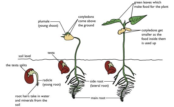 Diagram Showing The Stages Of Germination