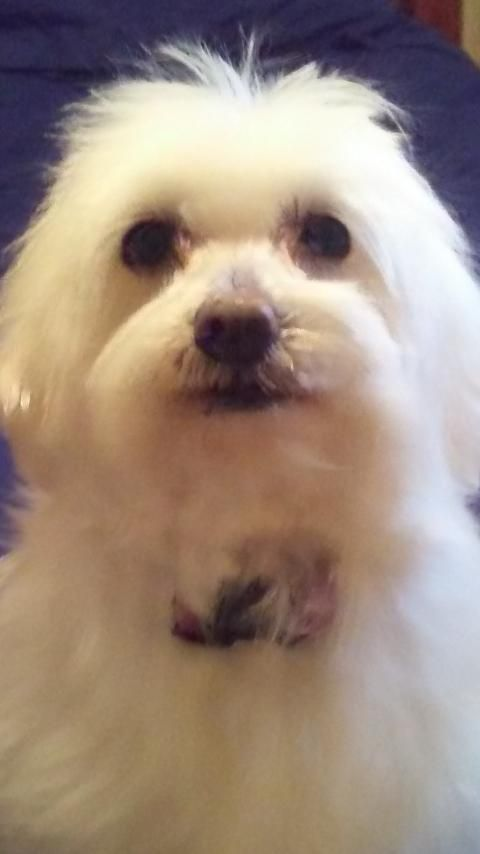 Senior Maltese Dogs Dog Adoption