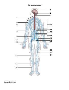 The Nervous System Identification Quiz or Worksheet for ...