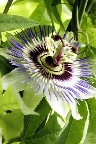 Heilpflanzen-Lexikon: Passionsblume Passionsblumenextrakt wirkt beruhigend, kann Ängste lösen und das Einschlafen erleichtern