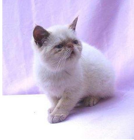gatito exótico himalayo