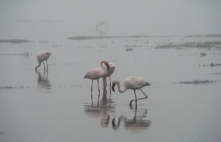 Flamingos in the mist at Laaiplek in Velddrif, West Coast, South Africa. July 2014