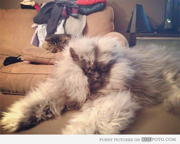 Yeti cat aka Colonel Meow