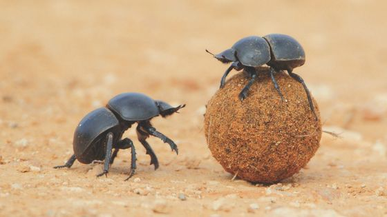 How dung beetles develop reading comprehension