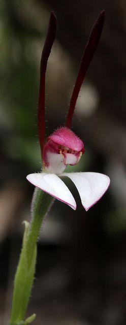 Leptoceras Menziesii - Rabbit-Orchid, by kimborow, via Flickr