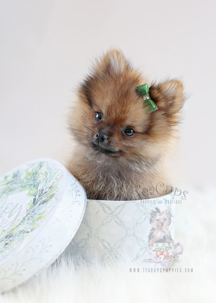 teacup pomeranian for sale bay area best 25 puggle puppies for sale ideas on pinterest 1504