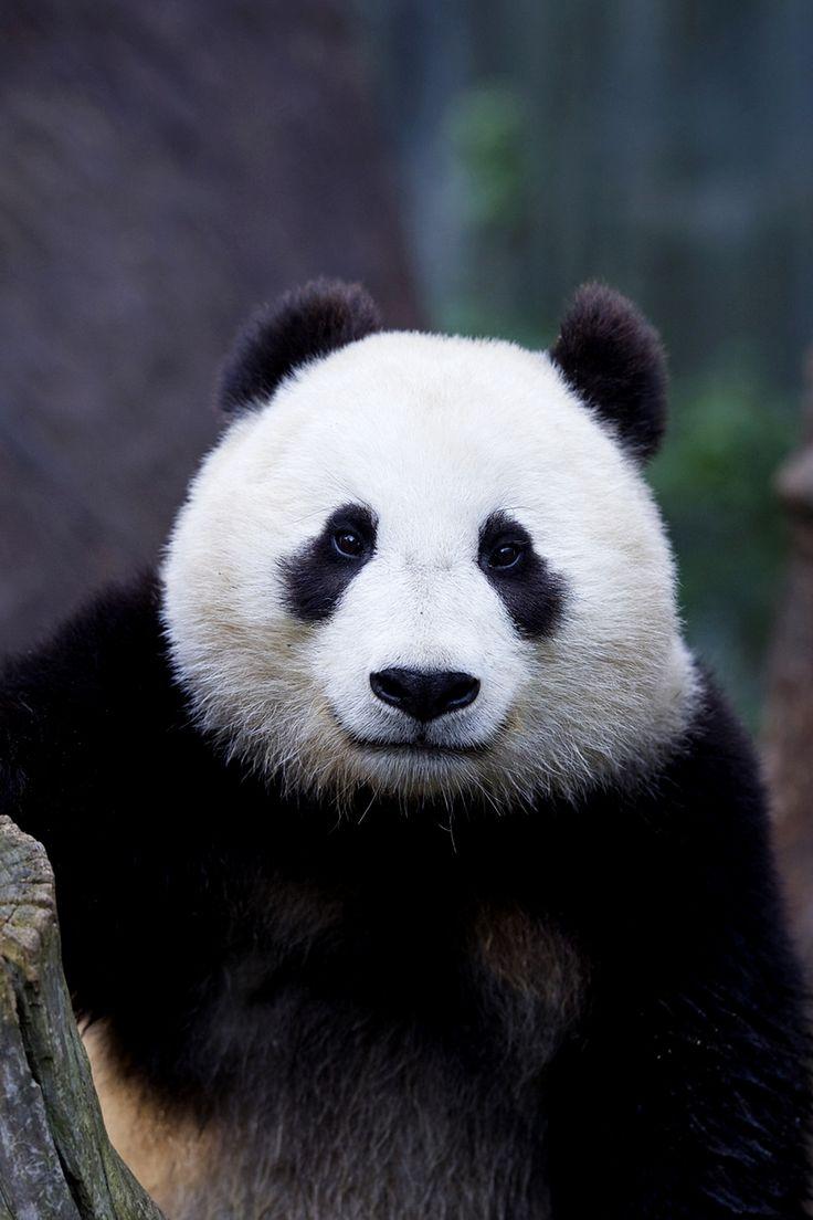 25+ beste ideeën over Giant pandas op Pinterest - Panda ... - photo#31