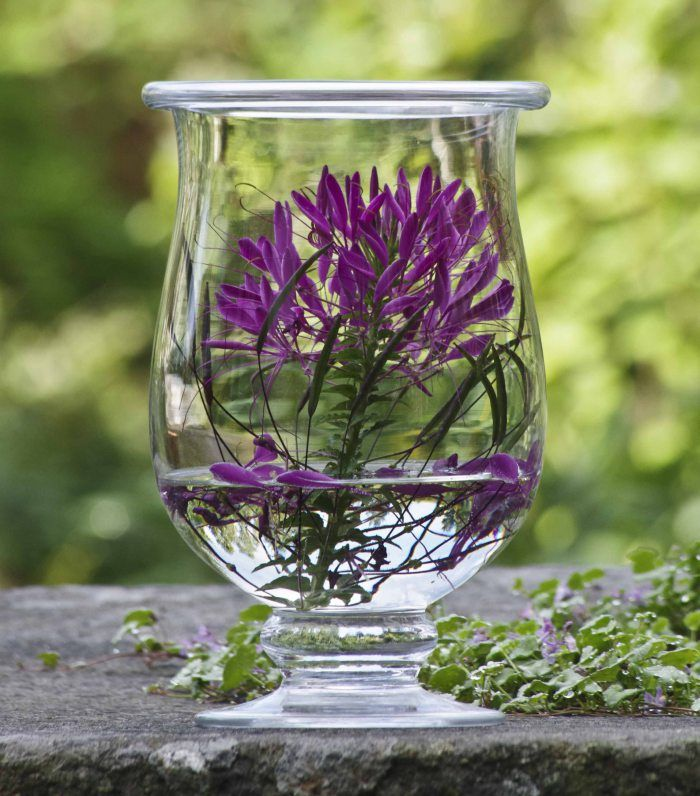 Bright cleome spinosa in a glass vase