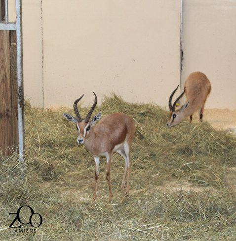 Unique en France ! Arrivée d'un groupe de gazelles dorcas au Zoo d'Amiens - Zoonaute.net