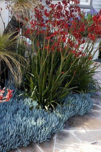...Kangaroo paw- big red, Senecio serpens... Jenny Smith Gardens - Surburban Landscape Oasis...