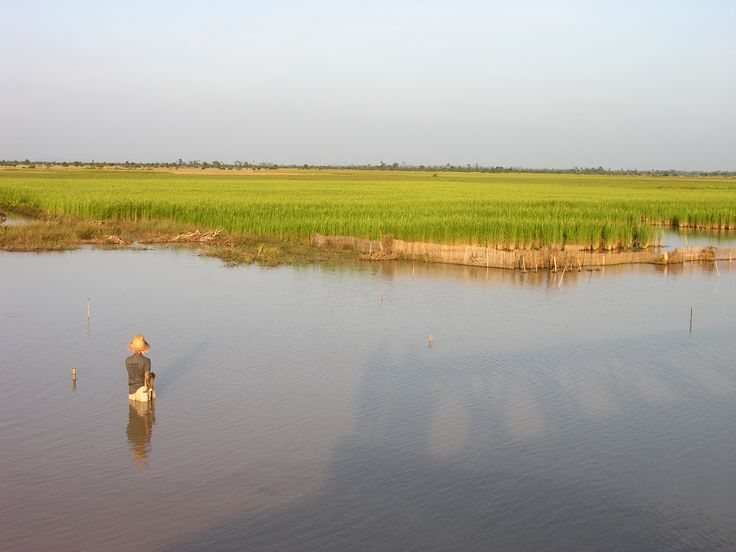Fishing with throwing nets after the monsoons filled the ditches, rice is growing in the background.