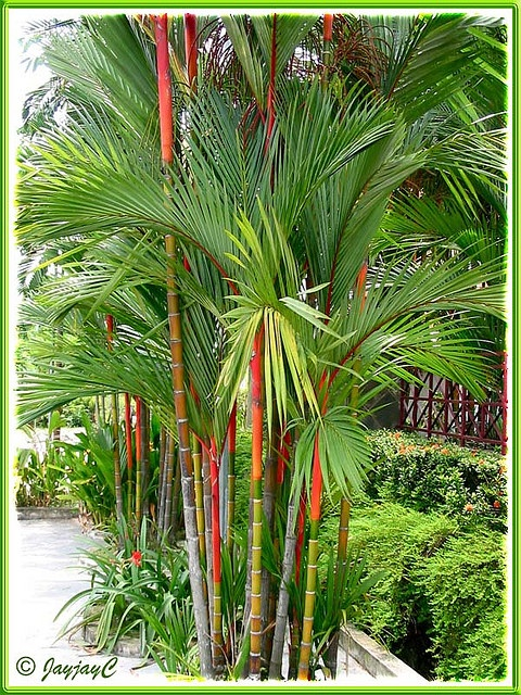 Sealing wax palm, lipstick palm, Cyrtostachys