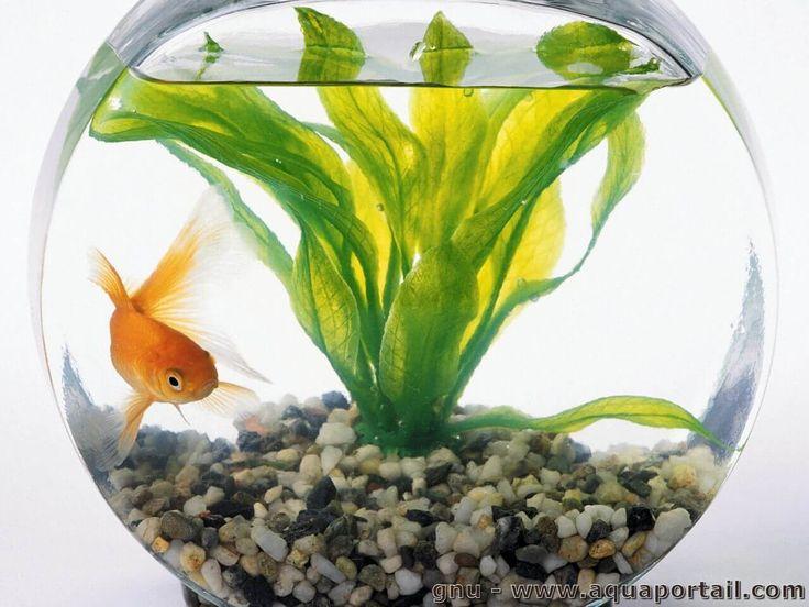Les 25 meilleures id es de la cat gorie bocaux de poissons for Plante bocal poisson rouge