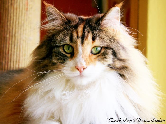 Norwegian Forest Cats For Sale In Oregon