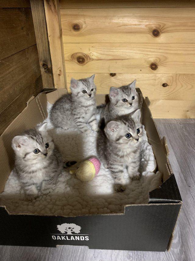 British Shorthair 'Breeders of Silver Tabby, We have