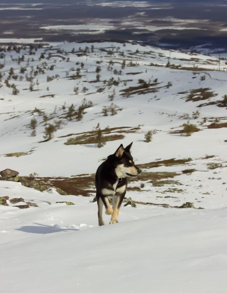 Seita, dog on adventures.  Lapponian herder. Genuine breed from Finland.