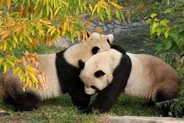 Female Panda recovering after Artificial Insemination. See linked article.