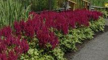 Les astilbes Sans aucun doute, les astilbes figurent sur la liste des dix meilleures vivaces pour le jardin. Résistantes aux insectes et aux maladies, elles fleurissent abondamment et leurs coloris sont intenses. Elles poussent aussi bien au plein soleil qu'à l'ombre.