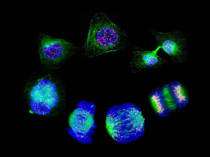 Cèl·lules humanes en procés complet de divisió cel·lular.