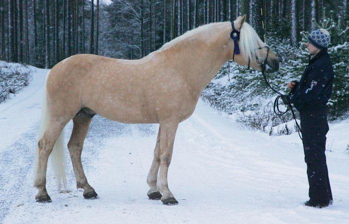 Finnhorse stallion Voiveikko. Palomino is a rare color of Finnhorses