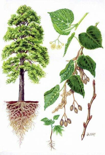 Lípa velkolistá (Tilia platyphyllos)