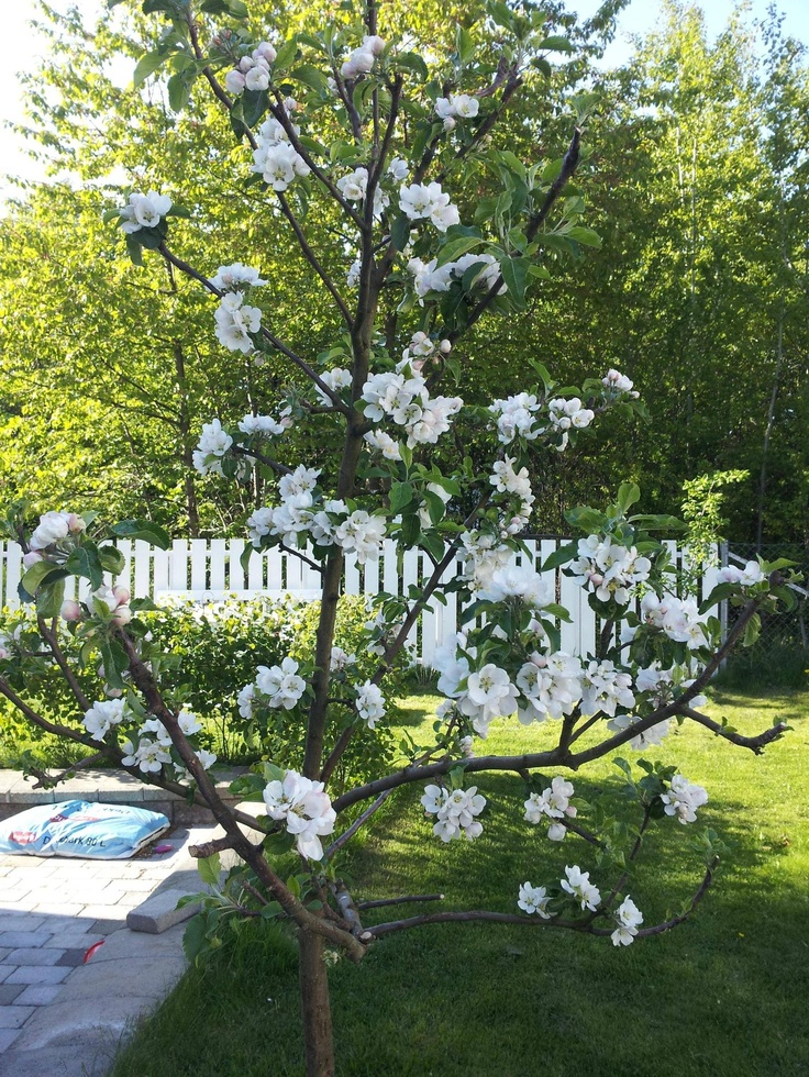 Wonderful appletree flowering!