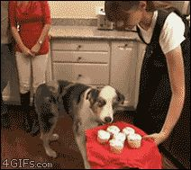 This dog who literally cannot handle all the cupcakes.