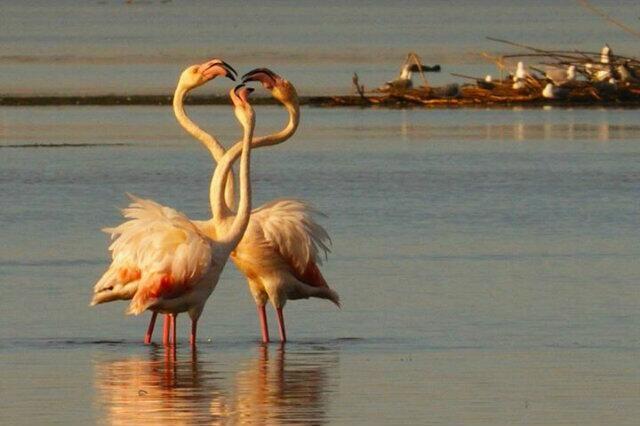 #Hermanus #estuary - flamingos courtship - who takes the lady out tonight