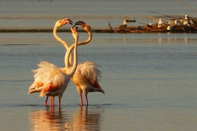 #Hermanus #estuary - flamingos courtship - who takes the lady out tonight