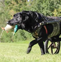 GUNNAR  Gunnar was hit by a truck in February of 2014. He was rendered a paraplegic. We had a hard time funding his wheelchair after the extensive veterinary bills and rehab costs. We realized that there was a need for wheelchairs for these animals for shel...