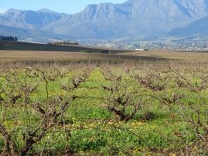 Wine and livestock guest farm for sale around Wellington in the Cape Winelands, Western Cape South Africa.  AGF0067