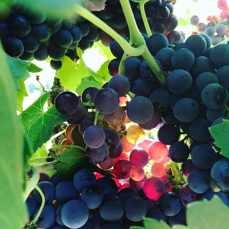 Did you know that there are more than 40 grape varieties planted in Barossa? Take a look at the top grape varieties grown in our latest resource: *Link in Bio*