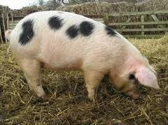 The Gloucestershire Old Spots is a historic pig breed known for its distinctive white coat with black spots. The breed was developed in the Berkley Vale of Gloucestershire, England, during the 1800s. Its exact origins are not known, though it was likely based on two breeds – the original Gloucestershire pig which was large, off-white, had wattles and was without spots, and second, the unimproved Berkshire. Both of the old breeds used to develop the Old Spots are now extinct.