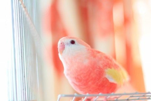 What a beautiful peach color on such an adorable bird!