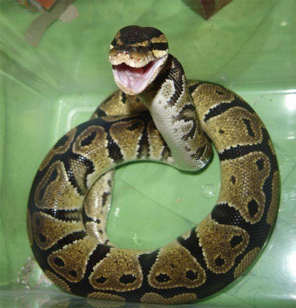 Baby Ball Pythons Care