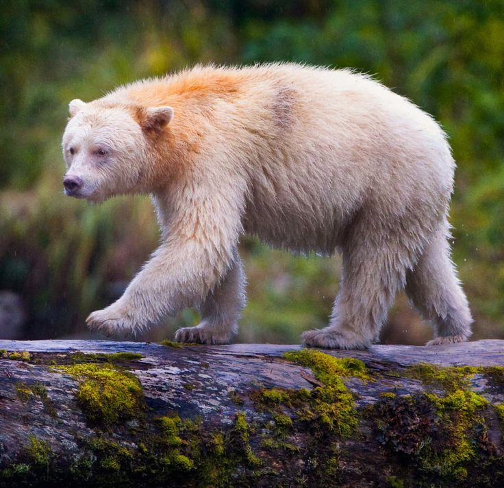 """Kermode """"Spirit"""" BearbyPaul BurwellKermode """"Spirit"""" Bear walking along a log over a river in the Great Bear Rainforest in British Columbia, Canada. These bears are not albinos. Rather, they are a black bear that carries a resesive gene that causes about 1 in 10 bears to be born with white instead of black fur. They only live on the west coast of Canada and there are only about 500 of them in existence."""