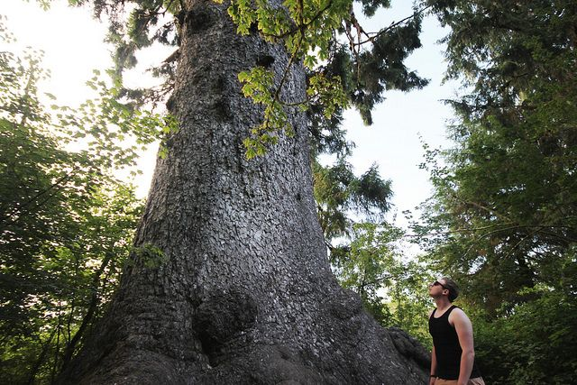 biggest spruce tree in the world!   Flickr - Photo Sharing!