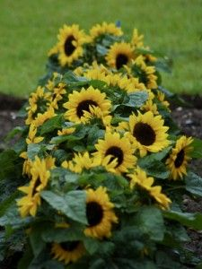 Dwarf sunflowers - love this row arrangement so close together. Would look great in front patio planter come summer time.