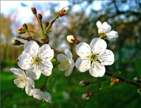 Почему плохо плодоносят вишни?