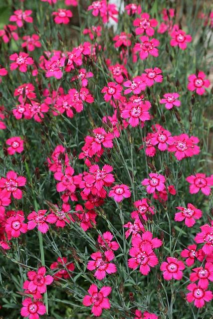 "Dianthus ""Zing Rose"" | Zone 4 | Pinterest"