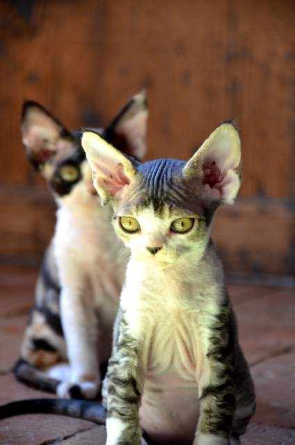 Devon Rex cuccioli  We had friends with these breed, theyre really sweet!!  <  <  <  Would love to have one!!! Perfect pet for people w/asthma!!