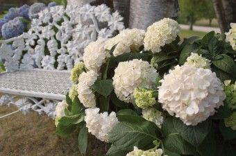 """ENDLESS SUMMER TM BLUSHING BRIDE HYDRANGEA  Hydrangea macro 'Blushing Bride'  QuickCode  SH0148      Height  125cm  Spread  125cm  Zones  5-9  Usage  Pb - S - Mp - Cu    Unique mophead Hydrangea that flowers on both new and old wood. Flowers all summer when spent blooms are removed. Flower heads up to 25cm (10"""") across"""