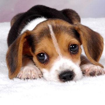 How to train a beagle puppy to stop biting