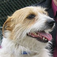 Long haired Jack Russell Terrier! | Jack Russell Terriers | Pinterest ...