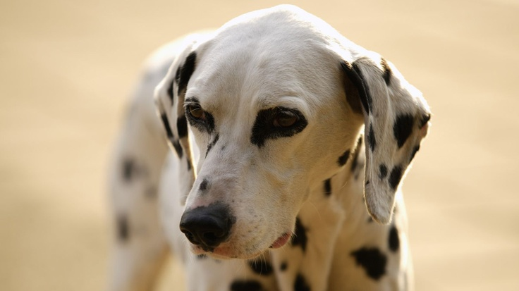 cute dalimation:  Coach Dogs, Remdawg Dogs, Dogs Photography,  Carriage Dogs, Puppies Photography, Future Pet, Photo Galleries, Dalmatians, Profess Photography