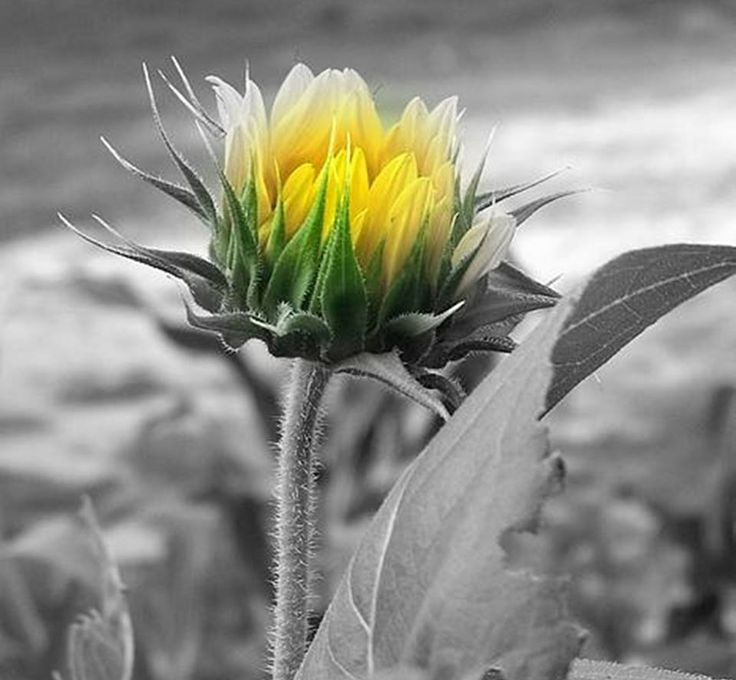 Sunflower here in my yard i made it black and white then a splash of color to