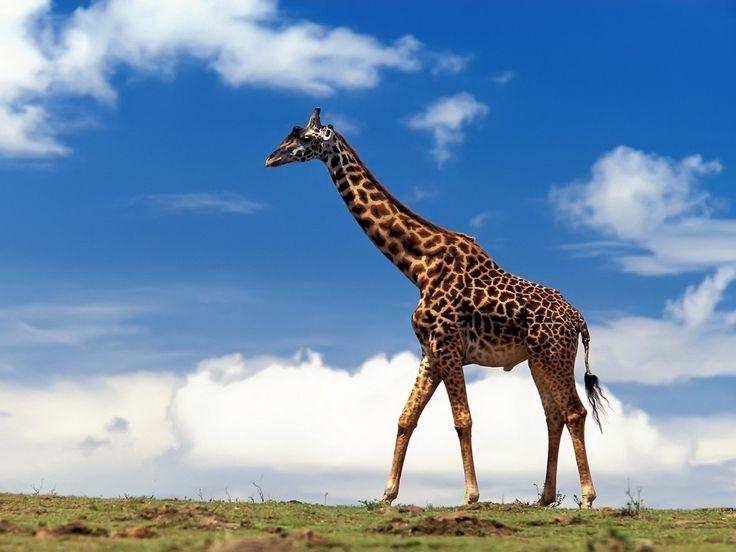 Giraffe walking...