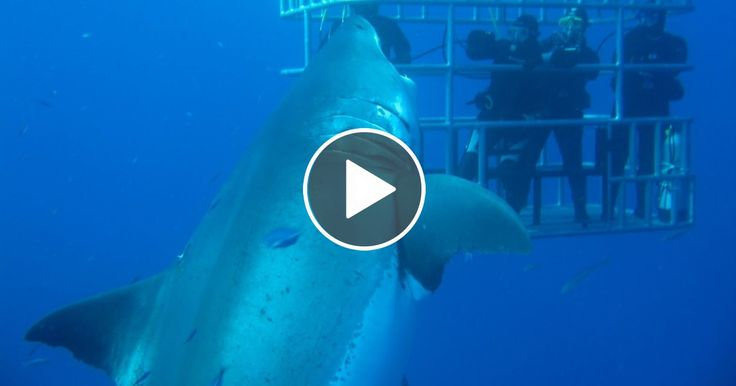 Worlds Largest Shark: 7-Metre-Long Deep Blue Believed To Be Biggest Ever