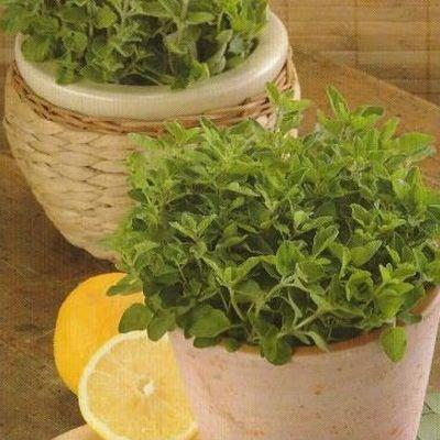 Oregano. Planta aromatica clasica pentru bucataria mediteraneana.